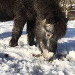 Pflegepony Lillie im Schnee